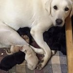 Lab Puppies for Sale in Georgia