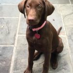 Lab Puppies for Sale in Florida