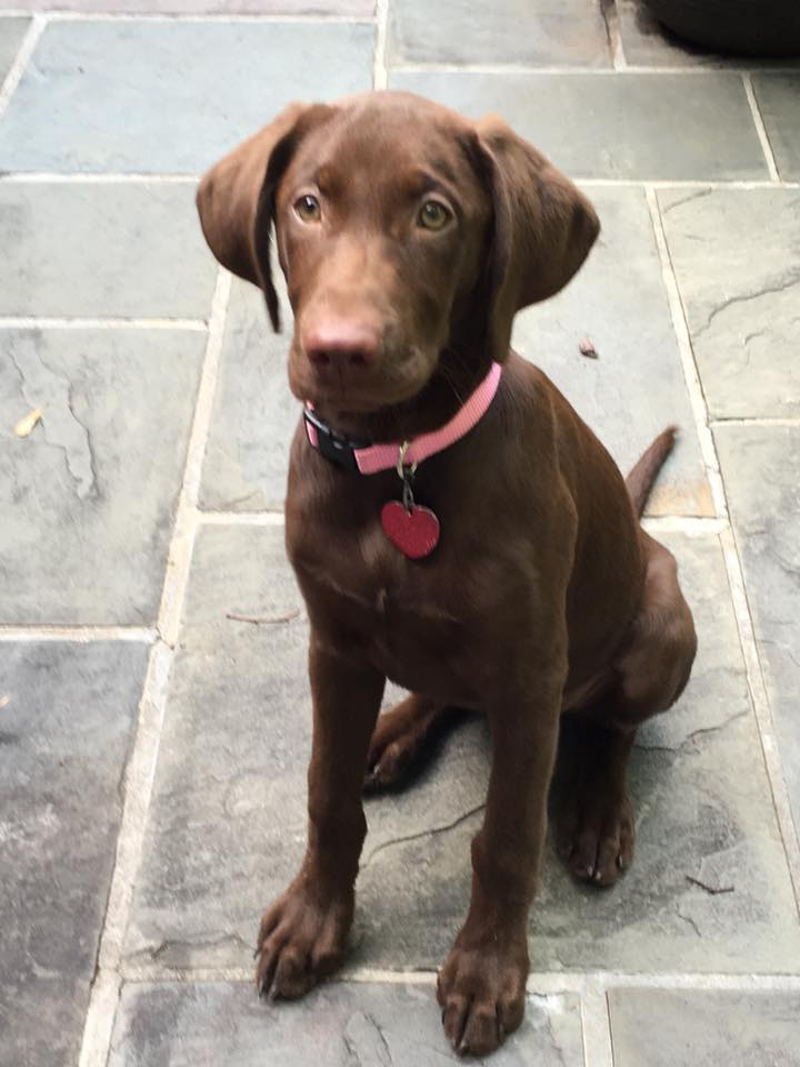 Lab Puppies For Sale In Florida Rock Springs Lab