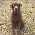 Lab Puppies For Sale in Alabama