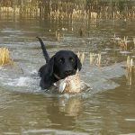 Lab Puppies for Sale in Louisiana