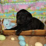Labs For Sale in Alabama