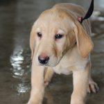 British Lab Puppies