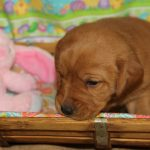 Lab Puppies for Sale in Mississippi