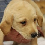 Lab Puppies for Sale in Tennessee