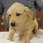 Lab Puppies for Sale in South Carolina