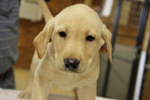 Lab Puppies for Sale in North Carolina