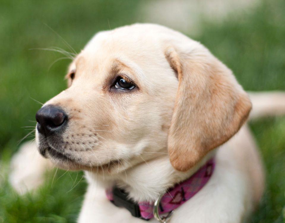 Rock Springs Labs British Labrador Puppies For Sale In Alabama